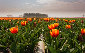 Wallpaper tulips, field, flowers