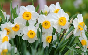 Picture flowers, nature, beauty, spring, may, flowering, daffodils, cottage
