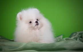 Picture white, puppy, breed, Spitz