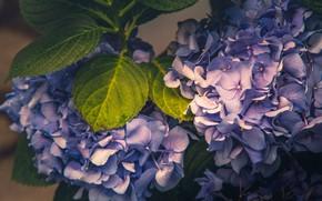 Picture macro, inflorescence, hydrangea