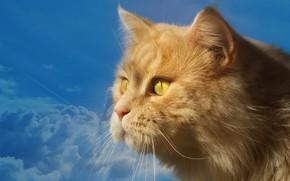 Picture the sky, cat, look, blue, portrait, muzzle, profile, red cat, kotofey