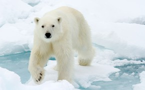 Picture winter, face, water, snow, nature, ice, wool, polar bear