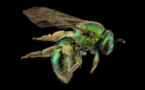 Picture augochloropsis metallica, bee, insect, nature