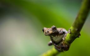 Picture forest, frog, Dendropsophus marmoratus