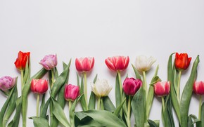 Picture flowers, colorful, tulips, pink, white, white, fresh, pink, flowers, beautiful, tulips, spring, purple, tender