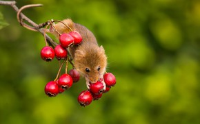 Picture background, branch, mouse, rodent, Harvest Mouse, apples, The mouse is tiny