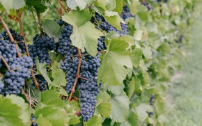 Picture Nature, vineyard, Grapes, Clusters