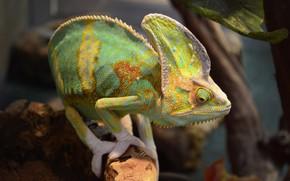 Picture animals, lizard, exotic, terrarium, reptiles, Yemen chameleon