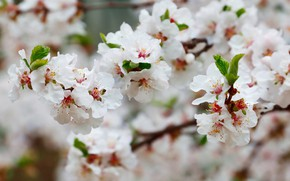 Picture flower, flowers, nature, travel, Asia, plants, spring, Sakura, journey, flora, Korea, April