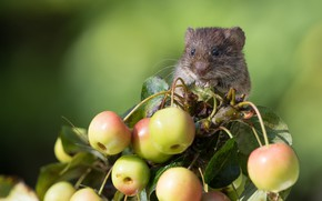 Picture background, rodent, apples, Bank vole