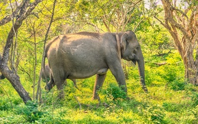 Picture greens, forest, grass, the sun, trees, elephants, the bushes, Sri Lanka, Yala National Park