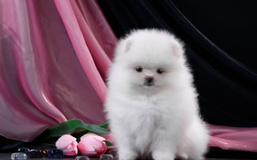 Wallpaper tulips, puppy, fluffy, white, Spitz