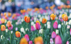 Picture tulips, buds, colorful, bokeh