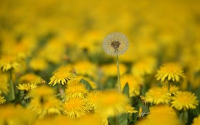 Picture field, flowers, dandelions, flowering