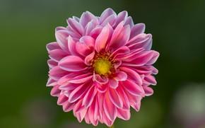 Picture flower, Dahlia, bokeh