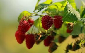 Picture summer, berries, raspberry, stay, garden, walk, flora