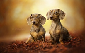Picture leaves, pair, bokeh, two dogs, Dachshund