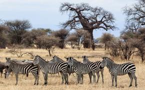 Picture strip, animal, Zebra, black, white