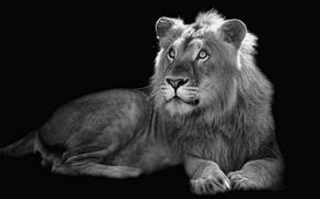 Wallpaper beast, background, Leo
