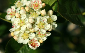 Picture beauty, spring, flowering, white flowers