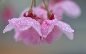 Picture drops, background, tree, petals, Sakura