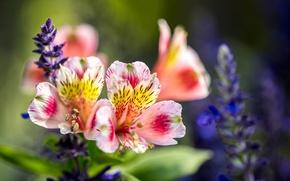 Picture macro, petals, Alstroemeria