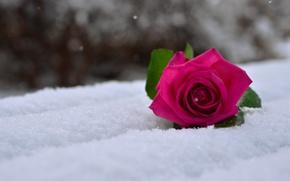 Wallpaper rose, snow, rose in the snow, macro