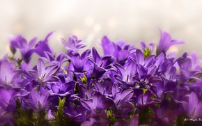 Picture purple, petals, bells