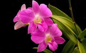 Picture leaves, background, petals, Orchid