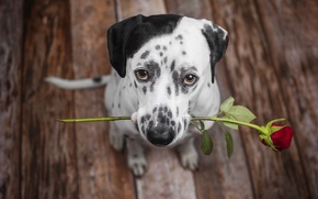 Picture each, rose, dog