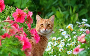 Picture animals, summer, cat, cats, nature, cottage, red cat, Stepan, Stepan