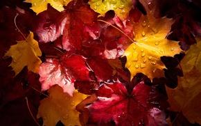 Wallpaper drops, autumn, wet, after the rain, foliage, macro