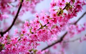 Picture flowers, nature, tree, spring, Sakura, flowering