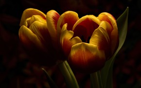 Wallpaper buds, fire, Duo, leaves, tulips, orange, two, the dark background, macro, flowers