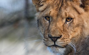 Picture cat, look, face, close-up, background, portrait, Leo, wild cats, lioness