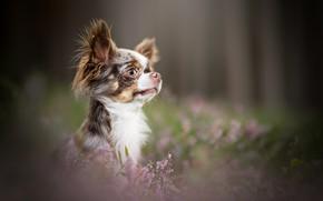 Wallpaper look, portrait, face, Chihuahua, bokeh, doggie, Heather, dog