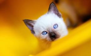 Picture cat, cat, look, close-up, yellow, kitty, background, portrait, kitty, blue eyes, face, cutie, Siamese, blue-eyed, …