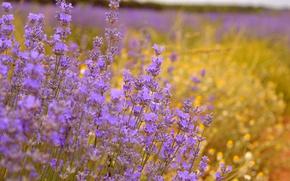 Picture Lavender, Lavender, Purple flowers
