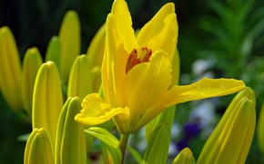 Picture summer, drops, flowers, nature, Lily, beauty, plants, many, cottage, flora, July, yellow, bulbous