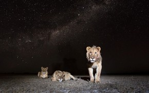 Picture night, nature, lions