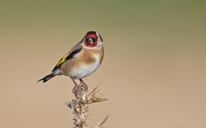 Picture birds, goldfinch, black-headed goldfinch