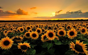 Wallpaper The sky, Morning, Field, Sunflower