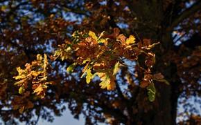 Wallpaper leaves, autumn, bokeh, oak, tree
