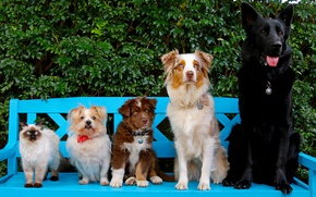 Wallpaper cat, dogs, bench, puppy, friends, rank, Australian shepherd, German shepherd, Ragdoll