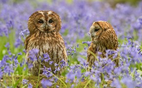 Picture flowers, nature, pair, owls