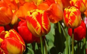 Picture spring, petals, tulips