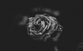 Picture flower, drops, rose, petals, black and white