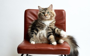 Wallpaper chair, look, cat