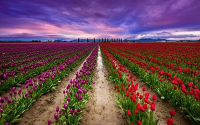Picture the sky, clouds, field, tulips