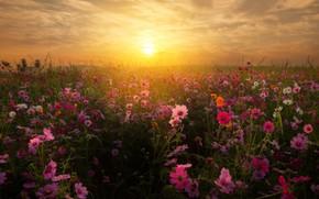 Picture field, the sky, the sun, sunset, flowers, kosmeya